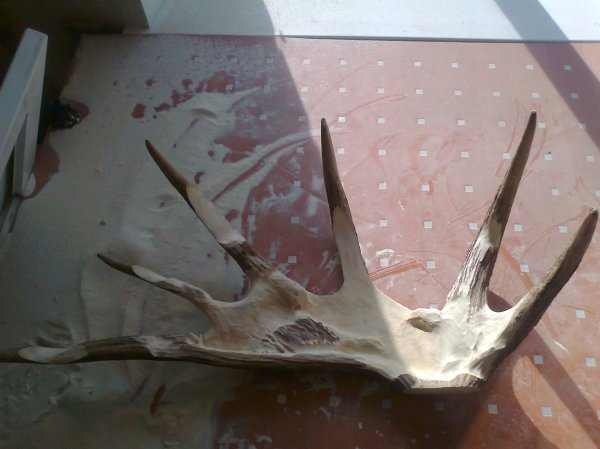 Phase 1 - The moose antler background is roughed out. (Dmitry Gorodetsky mixed media moose antler sculpture, in progress)