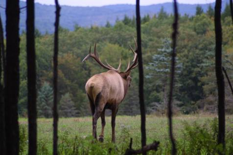 Bugling elk in Elk County, Pennsylvania, USA