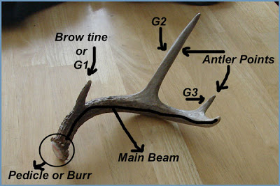 Anatomy of a shed deer antler